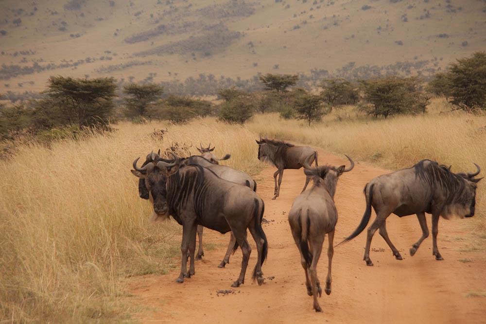 Serengeti great migration safari in Tanzania, Africa. Suuri massavaellus Serengetissä, unohtumattomat seikkailu safarit.